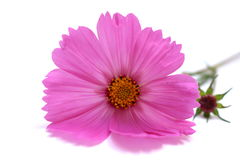 Cosmos cor-de-rosa Bipinnatus Imagens de Stock