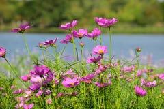 Cosmos cor-de-rosa com o lago no fundo foto de stock