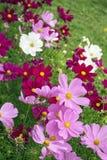 Cosmos cor-de-rosa e branco Imagem de Stock