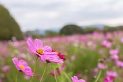 Cosmos cor-de-rosa na montanha Fotos de Stock Royalty Free