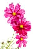 Cosmos cor-de-rosa no branco Imagens de Stock
