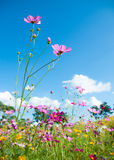 Cosmos cor-de-rosa no campo do cosmos com céu azul Fotografia de Stock Royalty Free