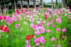 Cosmos da flor imagens de stock