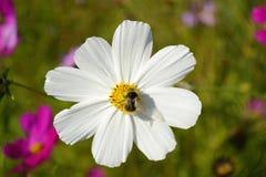 Cosmos de la flor y una abeja Fotos de archivo libres de regalías