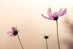 Cosmos del jardín fotografía de archivo libre de regalías