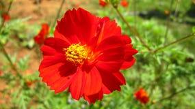 Cosmos, cosmos del jardín, aster mexicano, cosmos común, cosmos salvaje, mezcla del klondyke, ojos brillantes, enano de la mariqu Imagen de archivo