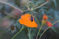 Cosmos del otoño y la abeja japonesa Imagen de archivo libre de regalías