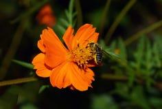 Cosmos del otoño y la abeja japonesa Imagenes de archivo