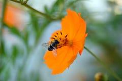 Cosmos del otoño y la abeja japonesa Imagen de archivo