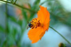 Cosmos del otoño y la abeja japonesa Fotografía de archivo