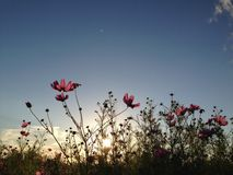 Cosmos at dusk. Soaking in every bit of sunshine before the day ends royalty free stock photo