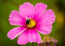 Cosmos - Early sensation. Single flower with bee in the center Royalty Free Stock Images