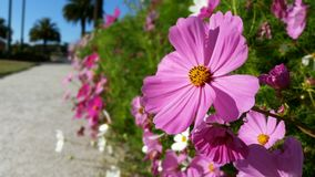 Cosmos en la floración Foto de archivo libre de regalías