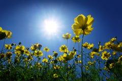 Cosmos et lumière du soleil jaunes en ciel bleu Images stock
