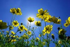 Cosmos et lumière du soleil jaunes en ciel bleu Photographie stock libre de droits