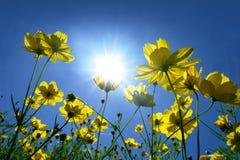 Cosmos et lumière du soleil jaunes en ciel bleu Photographie stock