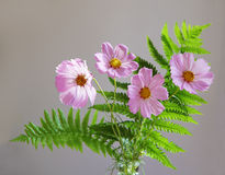 Cosmos and Ferns. Pink cosmos flowers with ferns over gray background Royalty Free Stock Photo