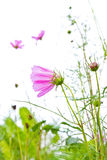 Cosmos in the field Stock Photography
