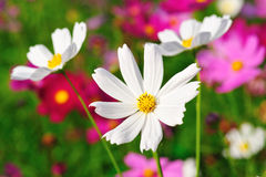 Free Cosmos Field Stock Photo - 28228210
