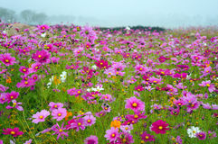 Cosmos field Stock Images