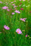 Cosmos field Stock Photography