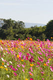 Cosmos field Royalty Free Stock Photography