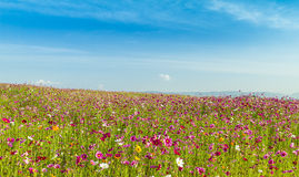 Cosmos field with blue sky Stock Photo