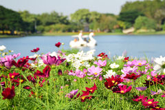Cosmos field with duck boat in background Royalty Free Stock Photo