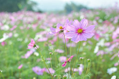 Cosmos field. A filed of pink cosmos flowers stock image