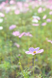 Cosmos field. A filed of pink cosmos flowers Royalty Free Stock Images