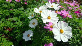 Cosmos field Royalty Free Stock Images