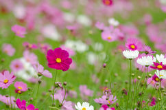 Cosmos field. This is flower name cosmos sulphureus Stock Image