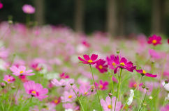 Cosmos field Royalty Free Stock Image
