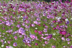 Cosmos field. Cosmos is a genus,with the same common name of cosmos ,consisting of flowering plant in the sun flower family, Cosmos is native to scrub and Stock Image