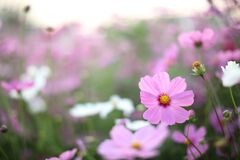 Free Cosmos Field , Pink Flower In Close Up With Flower Background Stock Photography - 170805342