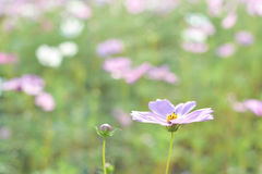 Cosmos field. Field of pink cosmos flowers Stock Photography