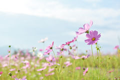 Cosmos field. Field of pink cosmos flowers royalty free stock photo