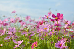 Cosmos field. Field of pink cosmos flowers Stock Photos