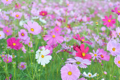 Cosmos field. Field of pink cosmos flowers Royalty Free Stock Photos