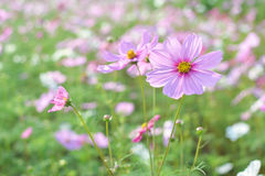 Cosmos field. Field of pink cosmos flowers royalty free stock images