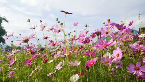 Cosmos field. Field of pink cosmos flowers stock image