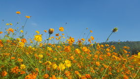 Cosmos field. Cosmos field with summer view Stock Images