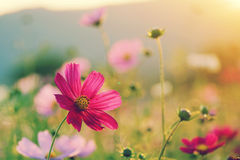 Cosmos field at sunset in autumn Royalty Free Stock Photography