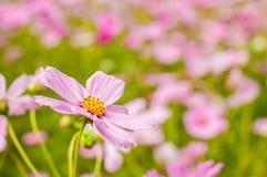 Cosmos, fleurs mexicaines d'aster Photos stock