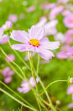 Cosmos, fleurs mexicaines d'aster Photo stock