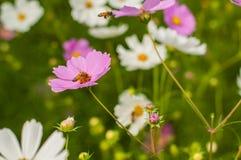 Cosmos, fleurs mexicaines d'aster Image libre de droits