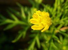 Cosmos floral de canto Fotos de Stock