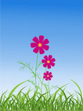 Cosmos Flower stock images