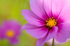 Cosmos flower. A close-up shot of cosmos flower Stock Photos