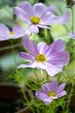 Cosmos flower. S in the garden stock photos
